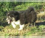 Wolf Hybrid Puppy For Sale in SAINT IGNATIUS, MT, USA