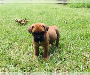 Bullmastiff Litter for sale in BELLVILLE, TX, USA