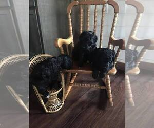 Bernedoodle Litter for sale in ADAIRVILLE, KY, USA