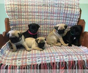View Ad: Pug Litter of Puppies for Sale near Virginia