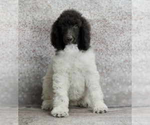 Poodle (Standard) Litter for sale in WARSAW, IN, USA