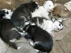 Siberian Husky Puppy For Sale in ELLENDALE, MN, USA