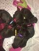 Labrador Retriever Puppy For Sale in DECKERS, CO, USA