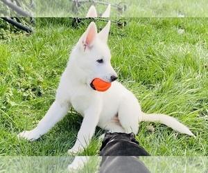 German Shepherd Dog-Siberian Husky Mix Litter for sale in SHELBYVILLE, KY, USA