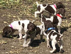 German Shorthaired Pointer Puppy For Sale in PERRY, KS, USA