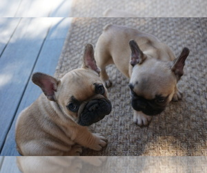French Bulldog Litter for sale in LOUISVILLE, CO, USA
