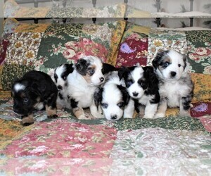 Miniature Australian Shepherd Litter for sale in CASTLE ROCK, CO, USA
