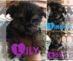 Morkie-Yorkshire Terrier Mix Puppy For Sale in EDISON, NJ, USA
