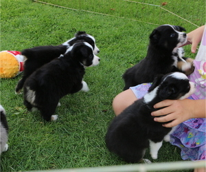 Miniature American Shepherd Litter for sale in LUCK, WI, USA