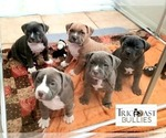American Bully Puppy For Sale in HOUSTON, TX, USA