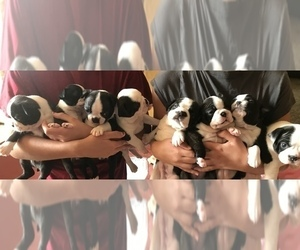 Boston Terrier Litter for sale in WILMINGTON, OH, USA
