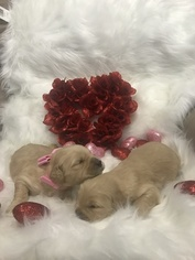 Goldendoodle Litter for sale in MIAMI, FL, USA