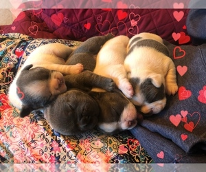 View Ad: French Bulldog Litter of Puppies for Sale near New