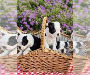 Boston Terrier Litter for sale in BELLEVIEW, FL, USA
