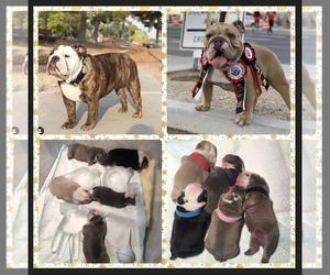 English Bulldog Litter for sale in PAHRUMP, NV, USA