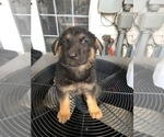 German Shepherd Dog Puppy For Sale in ALDIE, VA, USA