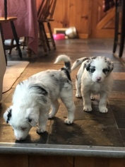 Border Collie Litter for sale in EMLENTON, PA, USA
