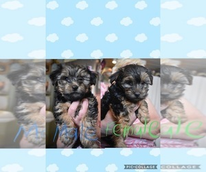 Morkie-Yorkshire Terrier Mix Litter for sale in EDISON, NJ, USA