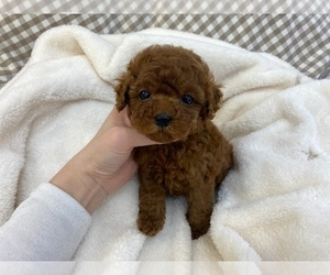 Poodle (Toy) Litter for sale in REDLANDS, CA, USA