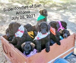 Labradoodle Litter for sale in SAN ANTONIO, TX, USA