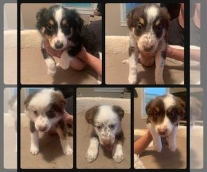 Australian Shepherd Litter for sale in DRYDEN, VA, USA
