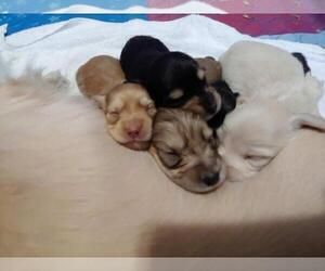 Dachshund Litter for sale in FEDERAL HEIGHTS, CO, USA