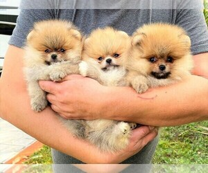 Pomeranian Litter for sale in SUNNY ISL BCH, FL, USA