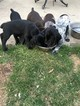 German Shorthaired Pointer Puppy For Sale in LITTLETON, CO, USA