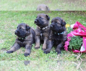 German Shepherd Dog Litter for sale in MADISON, TN, USA