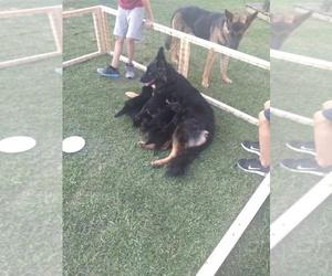 German Shepherd Dog Litter for sale in OKC, OK, USA