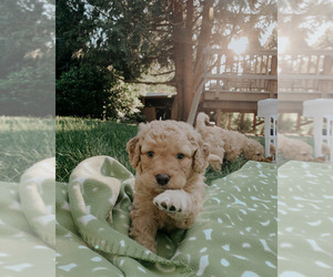 Goldendoodle Litter for sale in HILLSBORO, OR, USA
