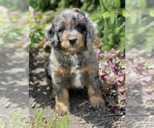 Medium Photo #1 Bernedoodle Puppy For Sale in BOWLING GREEN, OH, USA