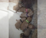 Small Photo #1 Goldendoodle-Poodle (Miniature) Mix Puppy For Sale in NORTH LIBERTY, IN, USA