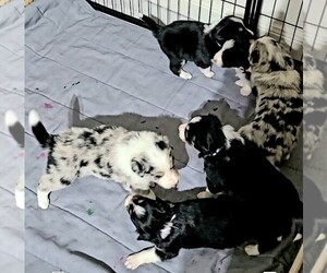 Border Collie Litter for sale in ELMENDORF, TX, USA