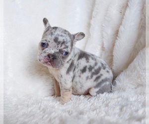 French Bulldog Litter for sale in BEAUMONT, CA, USA