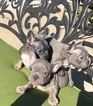 French Bulldog Puppy For Sale in BREA, CA, USA