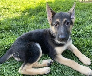 German Shepherd Dog Litter for sale in OREM, UT, USA