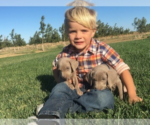 Weimaraner Litter for sale in WILLOWS, CA, USA