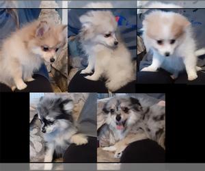 Pomeranian Litter for sale in LAGRANGE, IN, USA