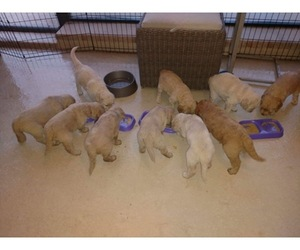 Goldendoodle Litter for sale in MERRITT IS, FL, USA