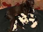 German Shorthaired Pointer Puppy For Sale in FARMINGTON, MI, USA