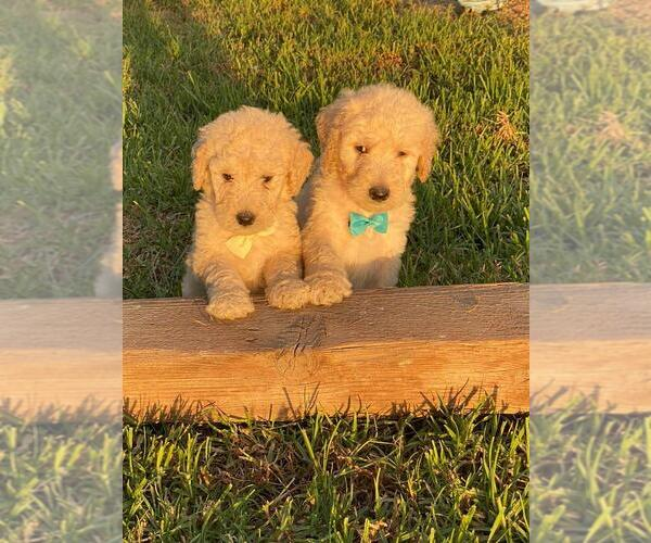 Medium Photo #1 Goldendoodle-Poodle (Standard) Mix Puppy For Sale in HANFORD, CA, USA