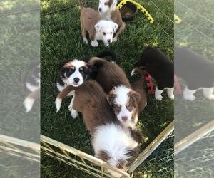 Australian Shepherd Litter for sale in VERMONTVILLE, MI, USA