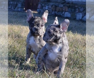 French Bulldog Litter for sale in BROOKLYN, NY, USA