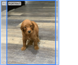 Goldendoodle Litter for sale in ELVERTA, CA, USA