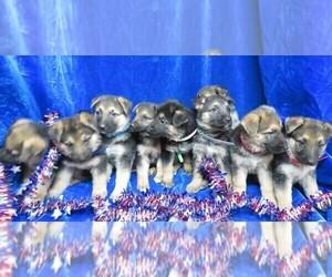 German Shepherd Dog Litter for sale in HARTVILLE, MO, USA