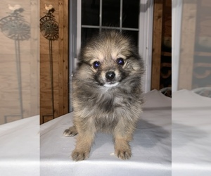 Pomeranian Litter for sale in MIDDLEBORO, MA, USA