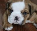 English Bulldog Puppy For Sale in MATTHEWS, NC, USA