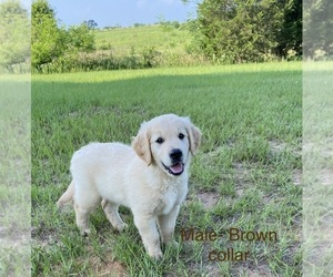 Golden Retriever Litter for sale in EUSTACE, TX, USA
