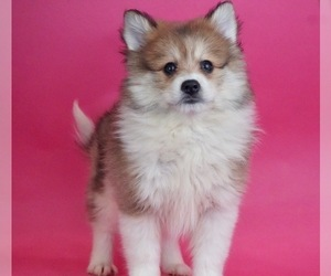 Pomsky Litter for sale in WARSAW, IN, USA